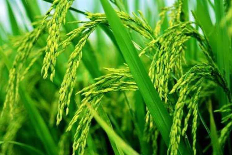 研究揭示水稻中汞、硒的暴露途径-fudajzx.com北纳标物网