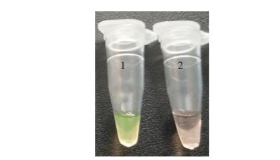 SRCA荧光可视化结果 北纳生物