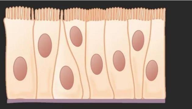 肠上皮细胞