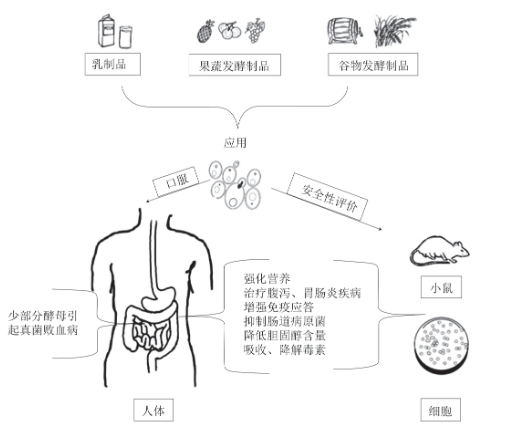 酵母菌的应用和益生活性|北纳生物
