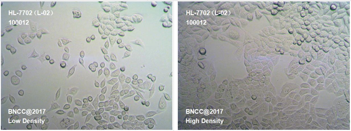 人正常肝细胞-菌种及细胞-北纳生物