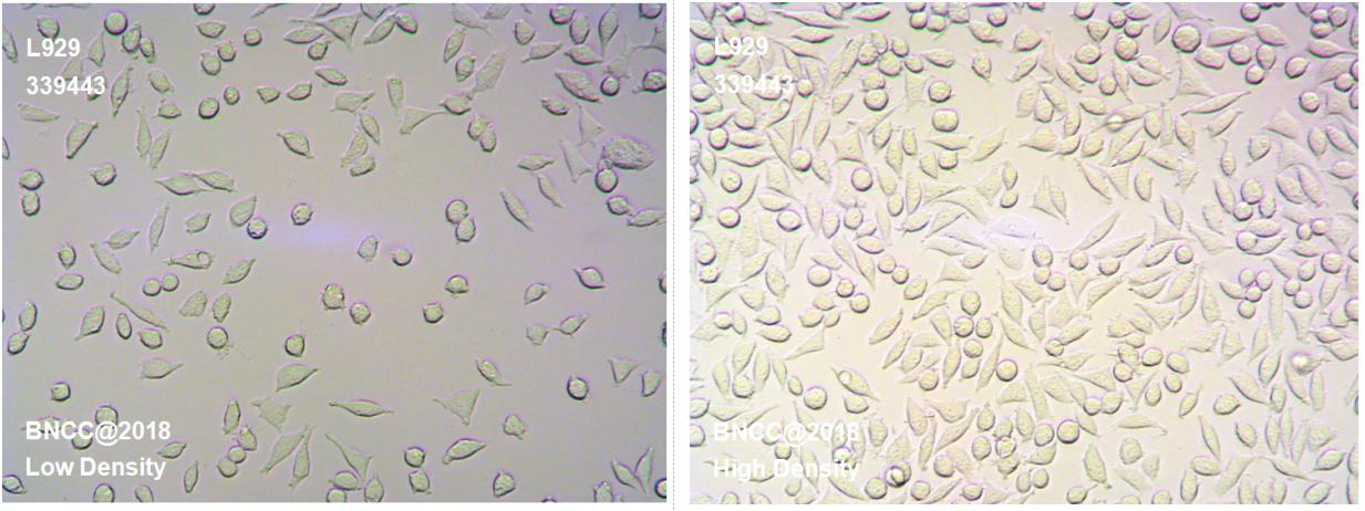 小鼠结缔组织L细胞株929克隆(小鼠<em><em>成纤维</em></em>细胞)-菌种及细胞-北纳生物