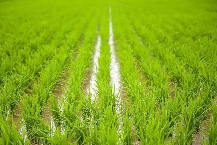 研究发现助水稻从土壤中吸收锌的转运蛋白-www.trendslot.com北纳生物