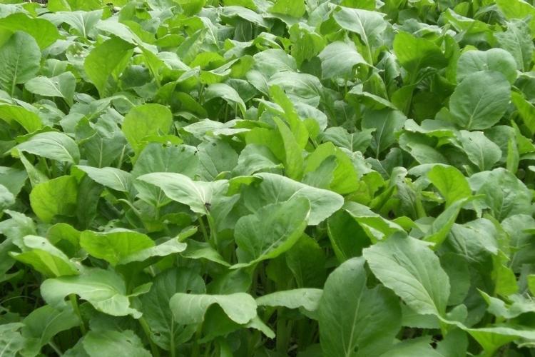 科学家首创抗除草剂甘蓝型油菜新种质-www.biaowu.com北纳生物