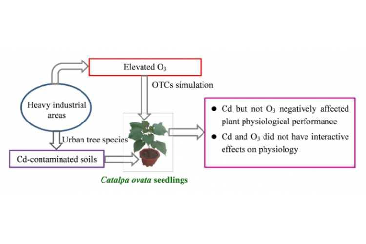 梓树可用于臭氧和土壤镉复合污染修复-www.biaowu.com北纳生物