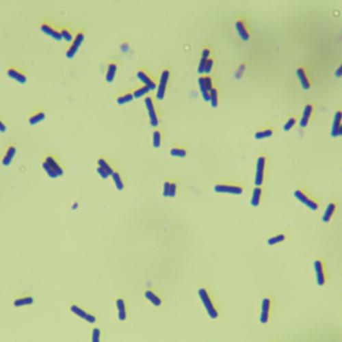 嗜酸乳杆菌-北纳生物