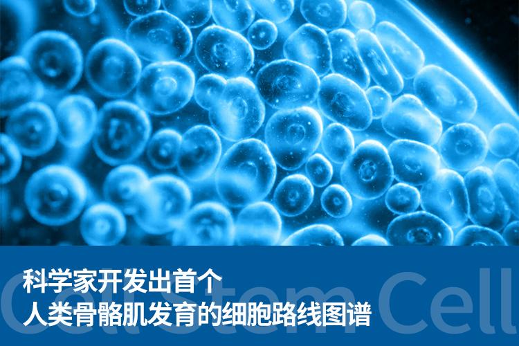 Cell Stem Cell:科学家开发出首个人类骨骼肌发育的细胞路线图谱!-www.bncc.org.cn北纳生物
