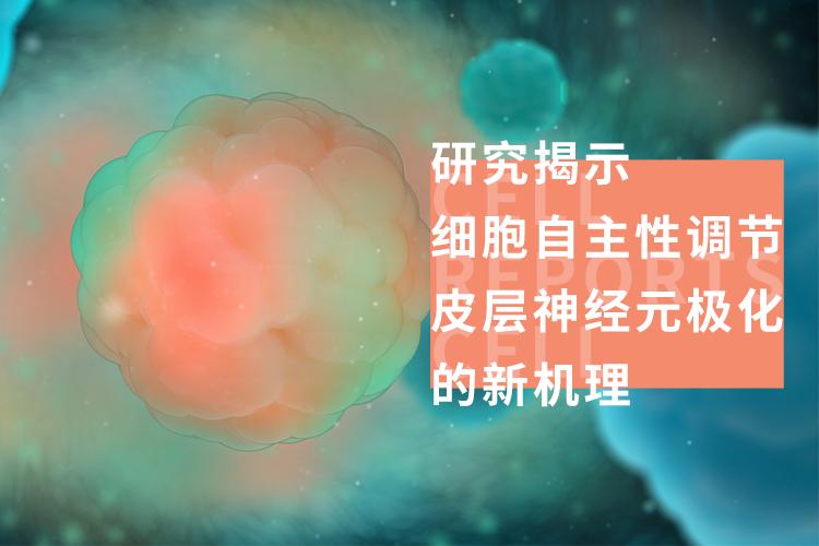 研究揭示细胞自主性调节皮层神经元极化的新机理-www.bncc.org.cn北纳生物
