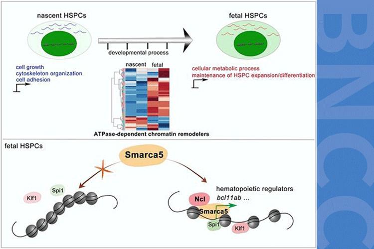 研究揭示染色质重塑因子Smarca5促进胚胎期造血干祖细胞发育-www.bnbio.com北纳生物