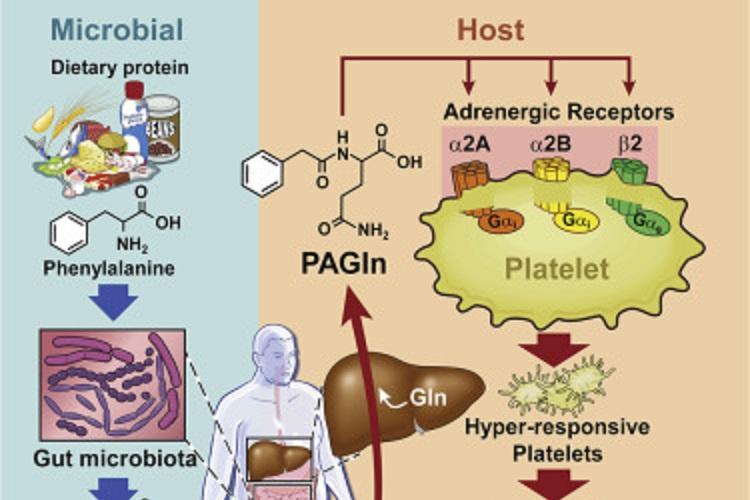 肠道微生物代谢物会增加心血管疾病风险!-www.bncc.org.cn北纳生物
