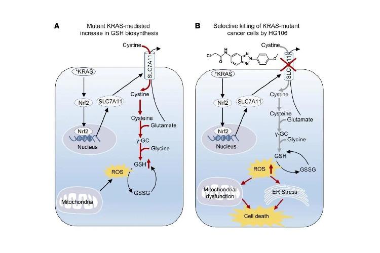揭示KRAS突变肺腺癌的生长依赖SLC7A11/谷胱甘肽代谢轴-www.bncc.org.cn北纳生物