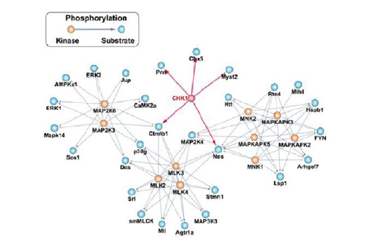 蛋白激酶CHK1可促进心梗后心肌细胞再生能力-www.bncc.org.cn北纳生物
