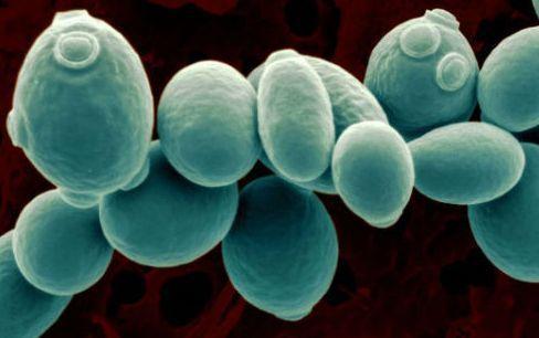 白酒釀造環境和大曲之間酵母菌的結構特征分析(二)-www.cityts.net北納生物