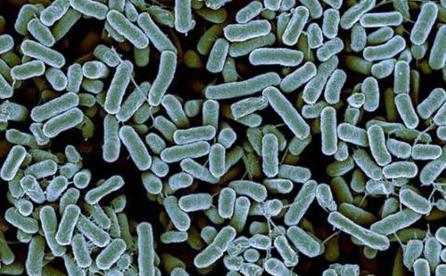 """绿脓杆菌""""自爆""""式死亡方式可增强其致病性-www.bncc.org.cn北纳生物"""