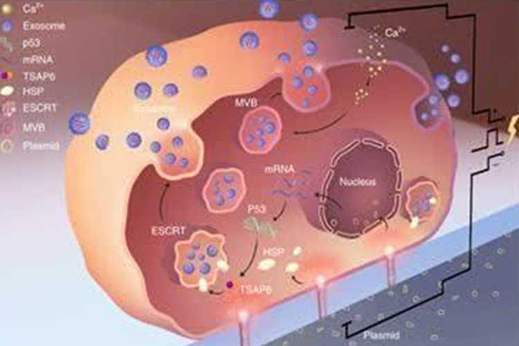 外泌体用于基因治疗-www.bnbio.com北纳生物
